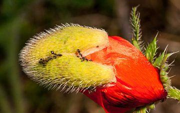 mieren melken de bladluizen van mick agterberg