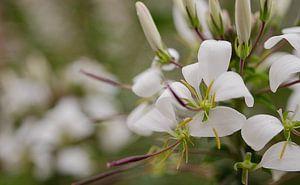 white flowers van Eugene Lentjes