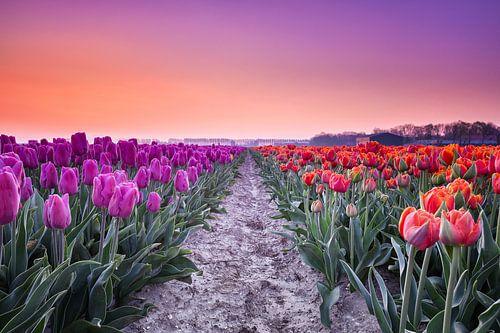 Paarse en Rode tulpen tijdens zonsopkomst