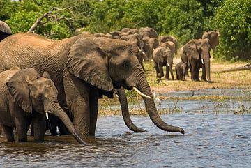 Families Afrikaanse Olifanten van
