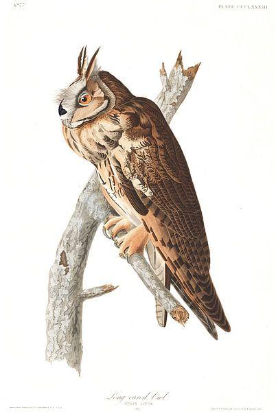 Ransuil van Birds of America