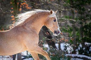Quarter horse in de sneeuw van Merel Bormans