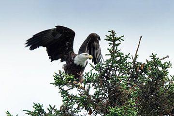 Amerikaanse Zeearend, Alaska, Bald Eagle von Yvonne Balvers