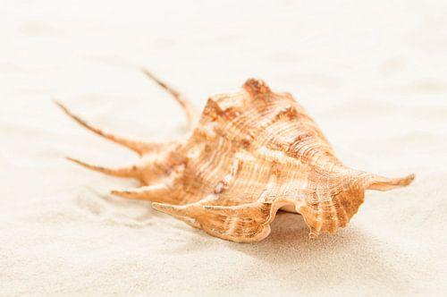 Lambis schelp op tropisch strand van