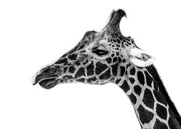Girafe de près sur Daliyah BenHaim