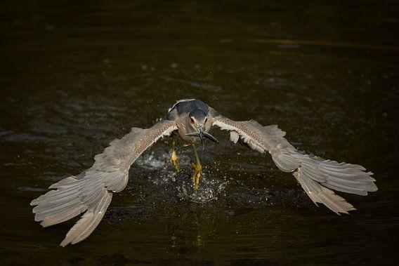 Vissende kwak