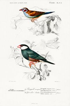 Roodwang Cordonbleu en Java Sparrow van Heinz Bucher