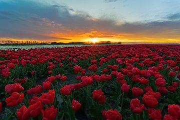 Prachtige zonsondergang boven het tulpenveld. van Jos Pannekoek