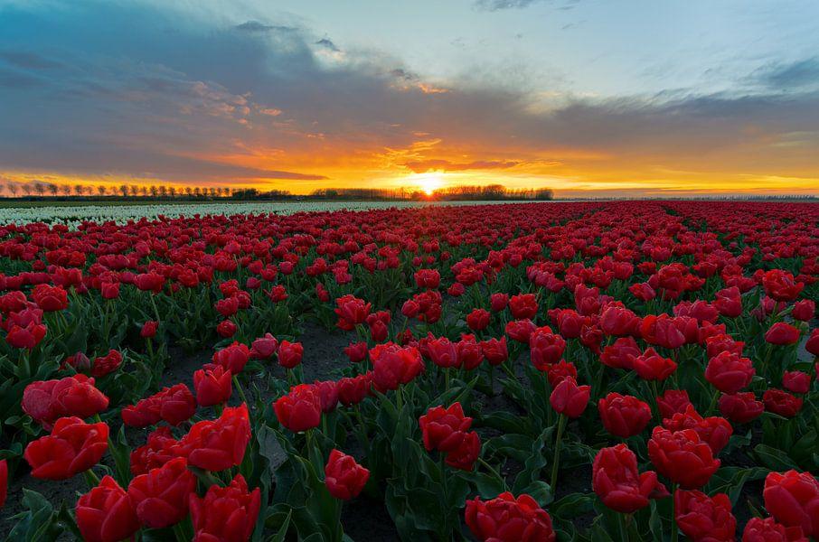 Prachtige zonsondergang boven het tulpenveld.