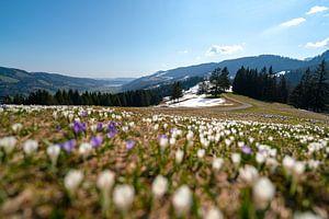 Krokusweide boven de Hündle in de lente in de Allgäuer Alpen van Leo Schindzielorz