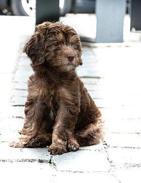 Bruine Labradoodle puppy van Lucia Leemans
