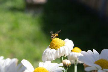 Schnurrbart-Schwebfliege auf Gänseblümchen von Michel Zwart