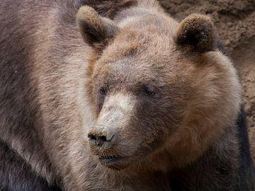 Braunbär : Tierpark Amersfoort von Loek Lobel