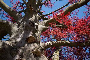 De boom met de rode bladeren. van