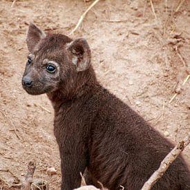 Hyena jong. van Paul Franke