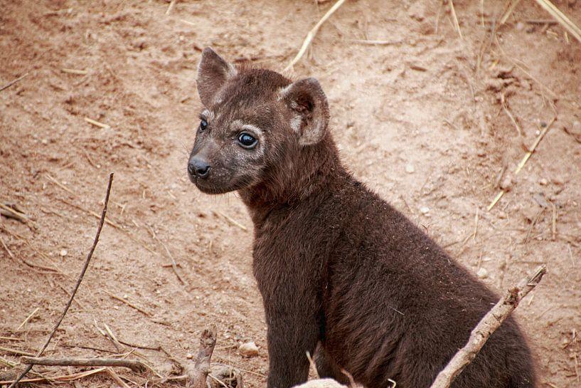 Hyène jeune. sur Paul Franke