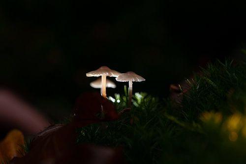 Kleine witte zwam paddenstoelen verlicht in het donkere bos.