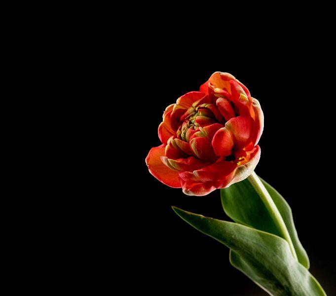 rode dubbele tulp op zwarte achtergrond van Compuinfoto .