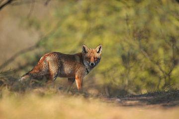 Fox von Bianca Verweij