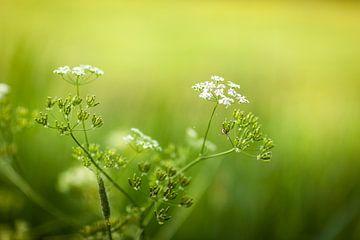Witte bloemen tegen groene achtergrond van Victor van Dijk