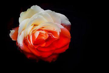 Blood rose (Serie: Roses) van Pascal Raymond Dorland