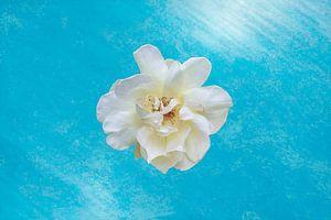 weiße Rose auf blauem Hintergrund von Ribbi The Artist