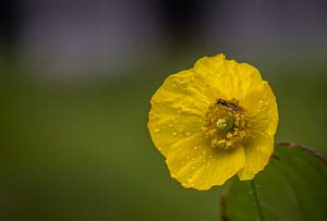 Gele bloem met druppels van