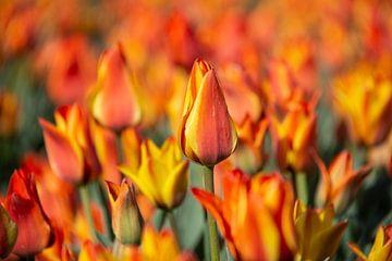 Oranje tulpen van Ton van Waard - Pro-Moois