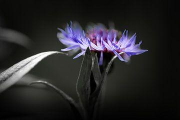 Metallische Kornblume von Ella Schnur