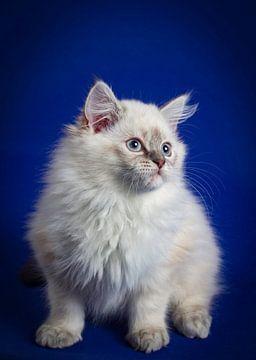 Pluizige Ragdoll kitten voor een donkerblauwe achtergrond  van Malu de Jong