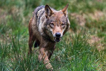 wolf loopt door het gras van