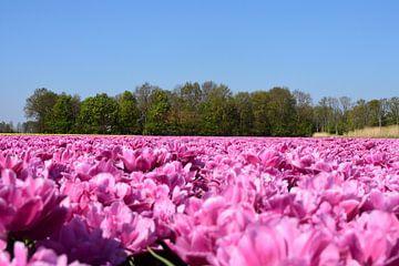 Een roze tulpenveld van Gerard de Zwaan