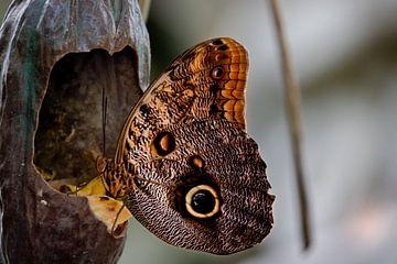 Uil Vlinder die geniet van zijn eten van