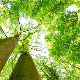 Zwei stramme Buchen Bäume von Oliver Henze