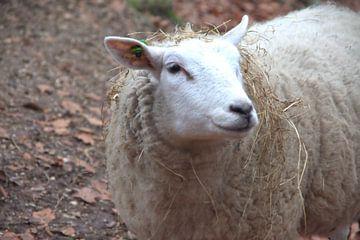 Ein neugieriges Schaf. von Jurjen Jan Snikkenburg