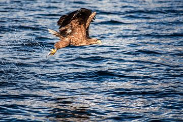 Zeearend met vers gevangen vis van Ken Costers