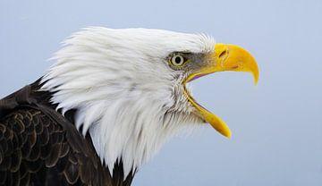 Amerikaanse Zeearend Portret II van Harry Eggens