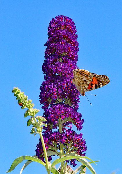 Vlinderstruik in paars van Wilma Overwijn