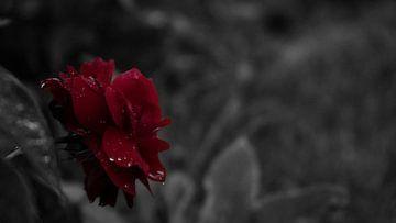 Rote Rose im Regen