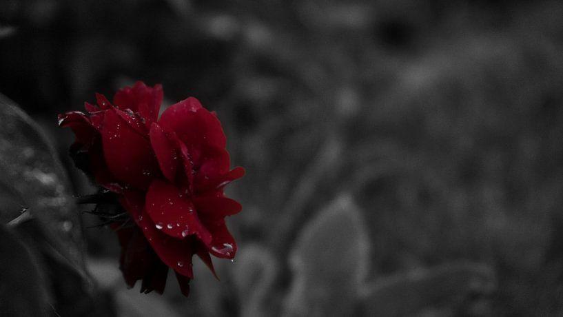 Rote Rose im Regen von Patricia Piotrak