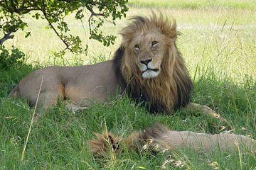 Lion brothers van Daisy Janssens