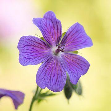 Blauwe geranium van Barbara Brolsma