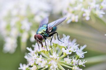 Groene vleesvlieg op bloem van