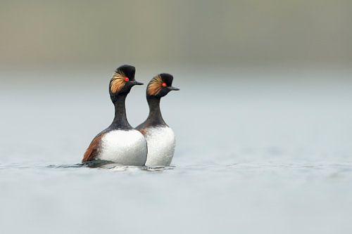 dancing... Black-necked Grebes *Podiceps nigricollis* van wunderbare Erde