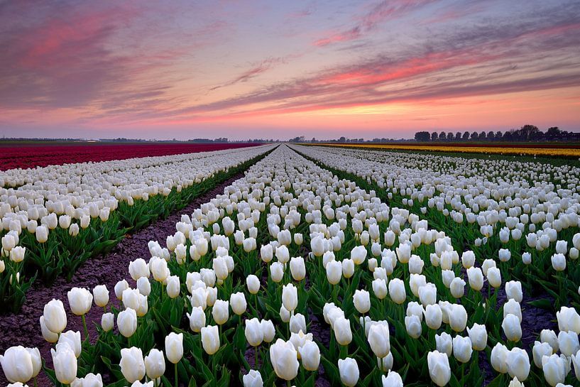 Tulpenveld bij zonsondergang van John Leeninga