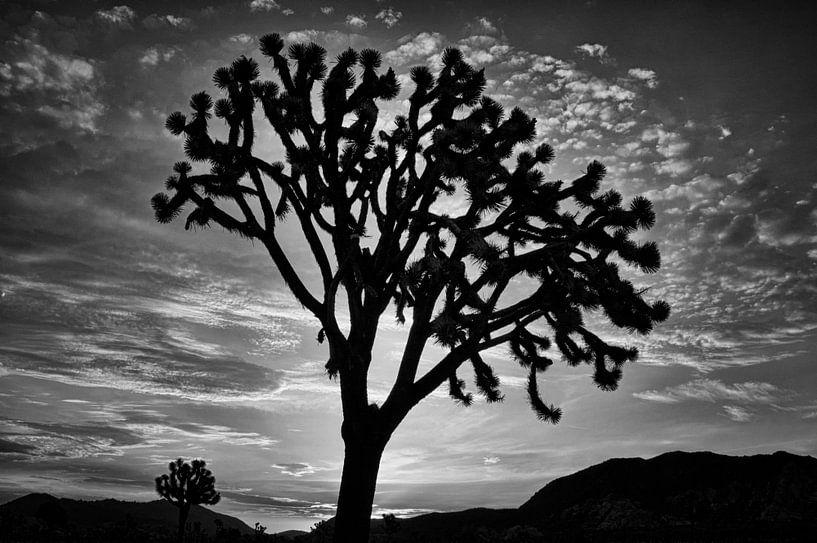 Joshua Tree sur Peter Bongers