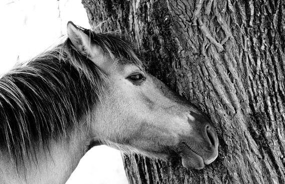 Konik horse van Anne Koop