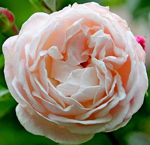 """Roos """"Compassion"""" in bloei in licht roze kleur in close-up van"""