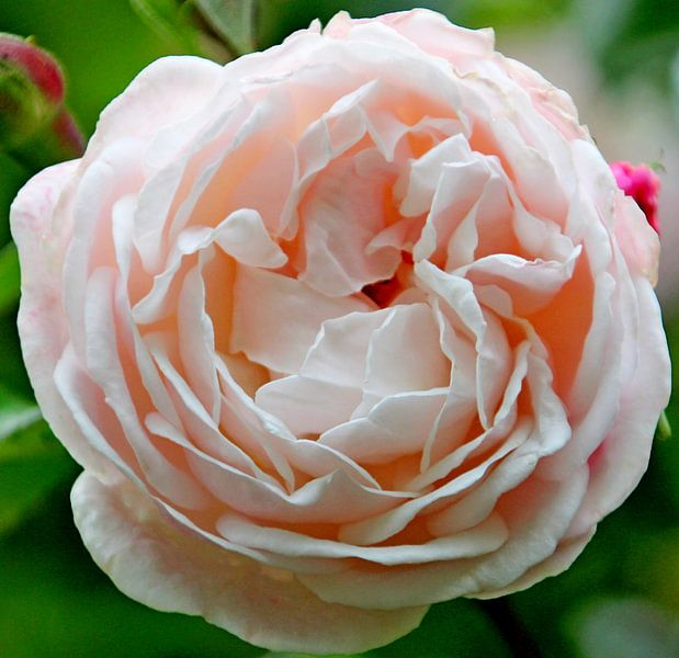 "Roos ""Compassion"" in bloei in licht roze kleur in close-up van André Muller"