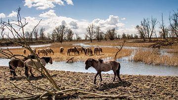 Konikpaarden, Oostvaardersplassen van wim van de bult